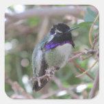 El colibrí de la costa pegatina cuadrada