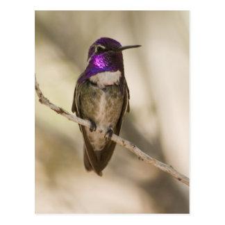 El colibrí de la costa postal