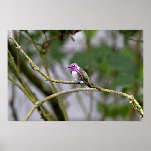 El colibrí de la costa posters