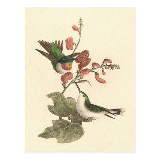 El colibrí Rojo-throated (colubris de Trochilus) Tarjetas Postales