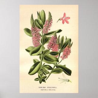 El color del siglo XIX antiguo florece litho Impresiones