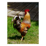 El COMENZAR DEBAJO de $20 - apuntalar el gallo Posters