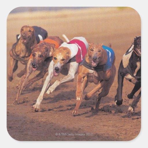 El competir con de galgos en pista pegatina cuadrada