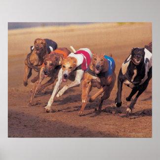 El competir con de galgos en pista póster