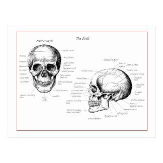 El cráneo detalla el frente y el lado postales