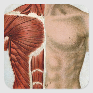 El cuerpo humano calcomanias cuadradas
