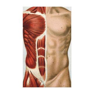 El cuerpo humano lona estirada galerías