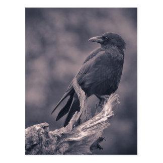 El cuervo de observación tarjeta postal