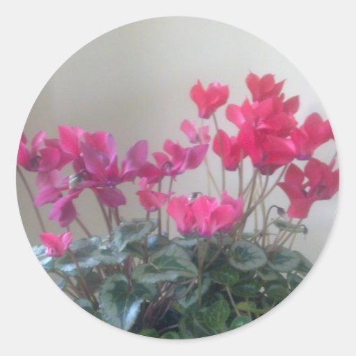 El Cyclamen rosado florece al pegatina