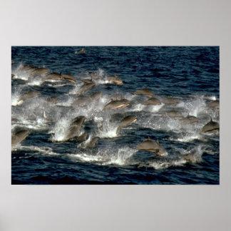 El delfín de Fraser Posters