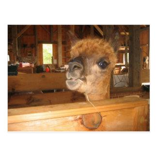 """""""el dinero real en alpacas """" tarjetas postales"""