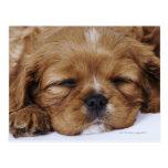 El dormir arrogante del perrito del perro de aguas postal