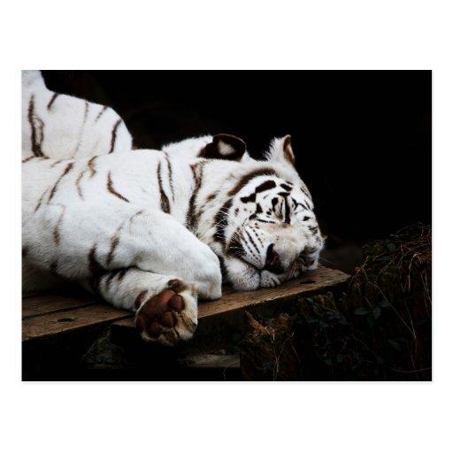 El dormir blanco del tigre tarjetas postales