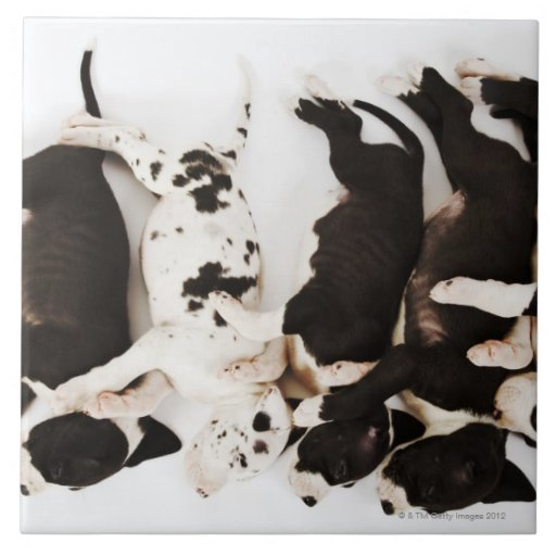 El dormir de cinco del Harlequin perritos de great Azulejo Cuadrado Grande