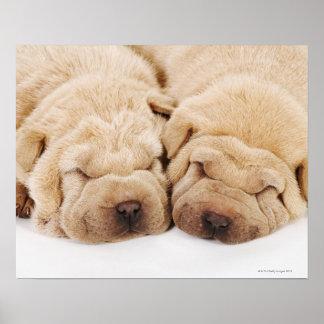 El dormir de dos perritos de Shar Pei Póster