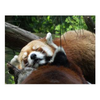 El dormir de la panda roja postal