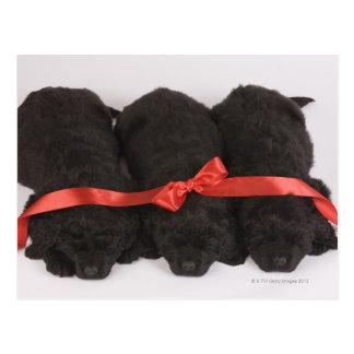 El dormir de los perritos de Terranova (Canis Tarjeta Postal