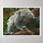 El dormir del oso de koala poster