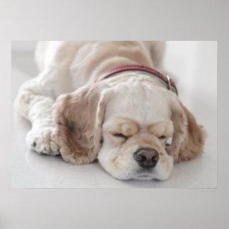 El dormir del perro de cocker spaniel póster