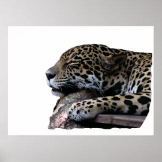 El dormir Jaguar ningún fondo Póster