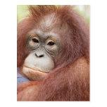 El Dr. Ana el orangután Postales