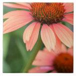 El Echinacea del melocotón florece la baldosa cerá Tejas