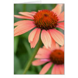El Echinacea del melocotón florece la tarjeta