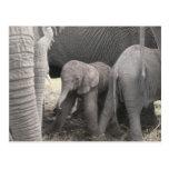 El elefante del bebé es derecho y tembloroso tarjetas postales