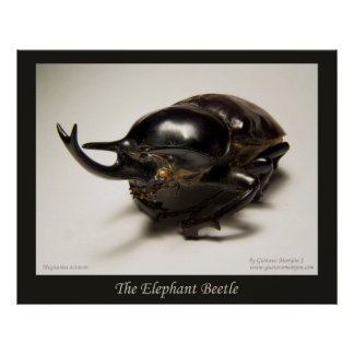 El escarabajo del elefante posters