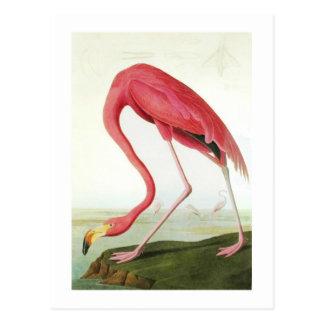 El flamenco de Audubon Tarjeta Postal