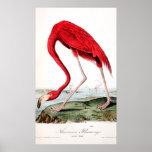 El flamenco rojo de Audubon Posters