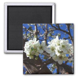 El flor blanco agrupa el peral floreciente de la imán cuadrado