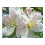 El flor del manzano Florece la primavera de las po Tarjetas Postales
