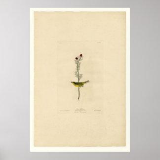 El Flycatcher de Selby Poster