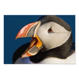 El frailecillo atlántico, un ave marina pelágica,  cojinete