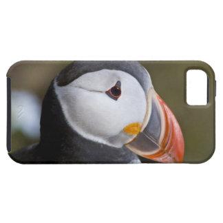 El frailecillo atlántico, un ave marina pelágica, funda para iPhone 5 tough