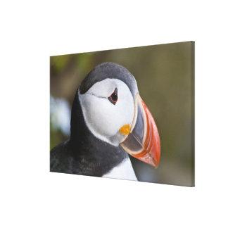 El frailecillo atlántico, un ave marina pelágica,  impresiones en lienzo estiradas