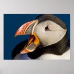 El frailecillo atlántico, un ave marina pelágica,  posters