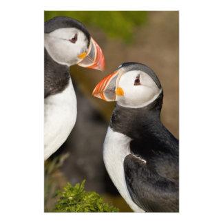 El frailecillo atlántico, un ave marina pelágica,  arte fotográfico