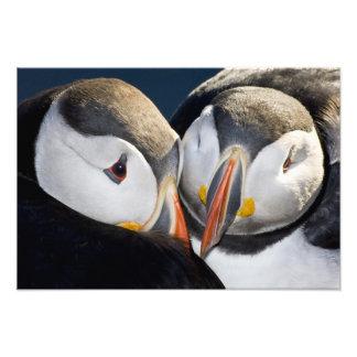 El frailecillo atlántico un ave marina pelágica impresión fotográfica