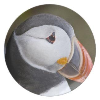 El frailecillo atlántico, un ave marina pelágica,  platos