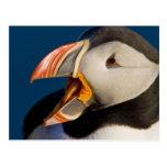 El frailecillo atlántico, un ave marina pelágica, postales