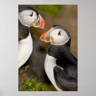 El frailecillo atlántico, un ave marina pelágica,  póster