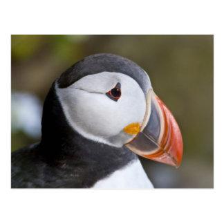 El frailecillo atlántico, un ave marina pelágica, tarjeta postal