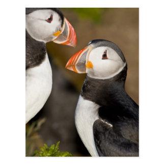 El frailecillo atlántico, un ave marina pelágica, tarjetas postales