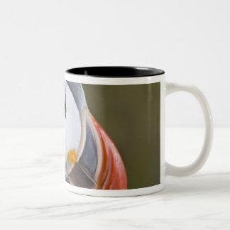 El frailecillo atlántico, un ave marina pelágica,  tazas de café