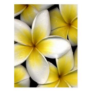 el frangipani blanco y amarillo florece con las ho postal