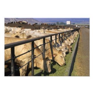 El ganado come en un forraje en Grandview, Idaho Fotografías