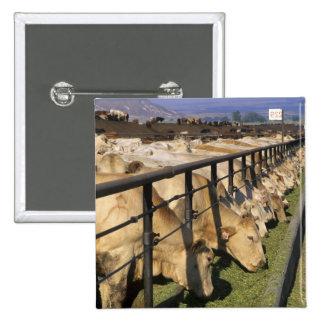 El ganado come en un forraje en Grandview, Idaho Pin Cuadrada 5 Cm