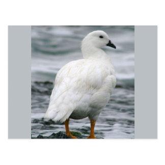El gandulear blanco hermoso del ganso del quelpo tarjetas postales